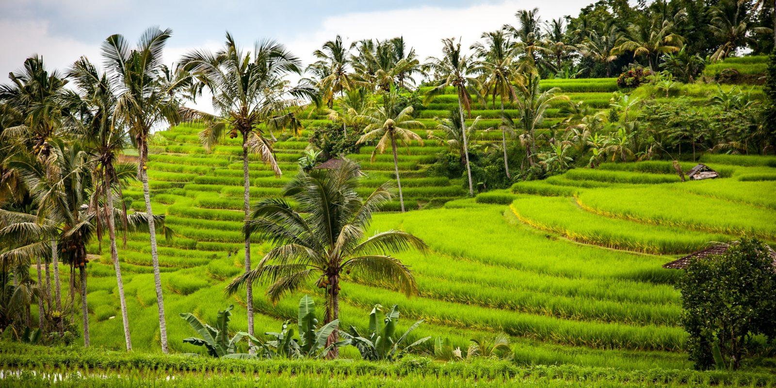 Stepped Paddy farming, Bali, Indonesia.