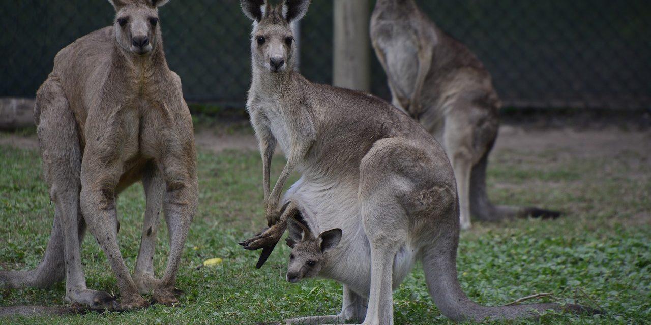 Kangaroo, Brisbane, Australia