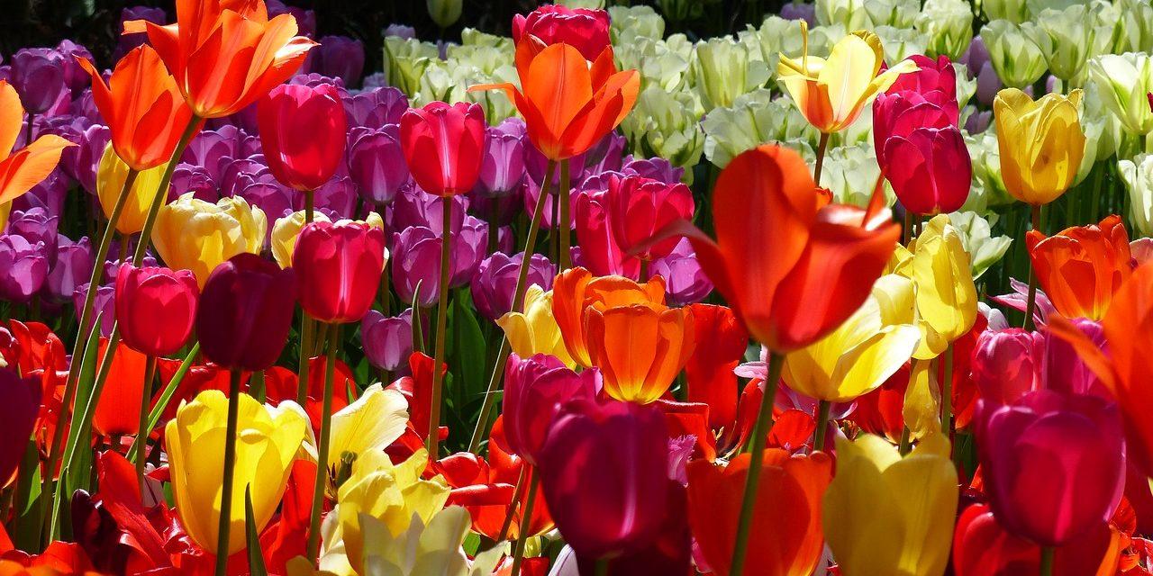 Tulip Garden Keukenhof Amsterdam, Netherlands.