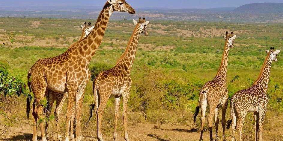 Giraffe colony