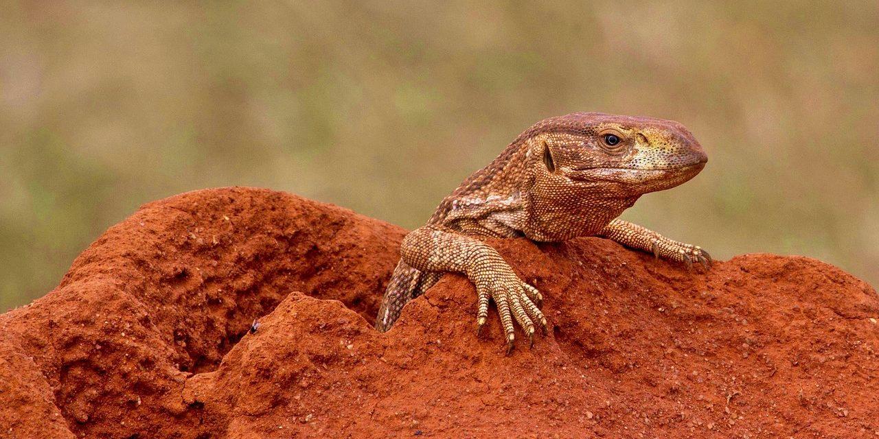 Peeping Monitor Lizard