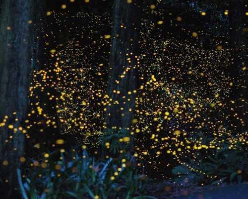 Firefly Colony, Selangor